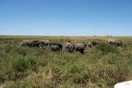 Herd of Elephants: out on the open ranges of the Serengeti.