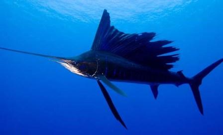 Bare lige så alle er med, så er det her en sejlfisk, der endnu ikke er fanget og spist