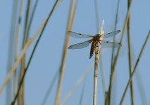 Broad-bodied Chaser on reeds