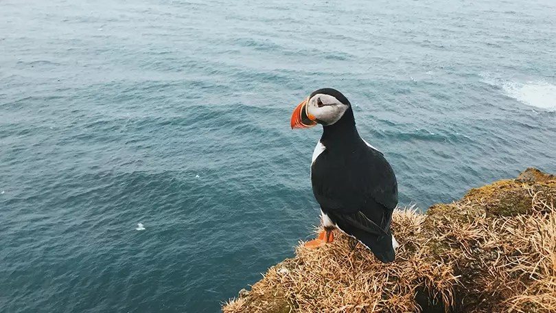 Would Be Traveller Puffins in the UK