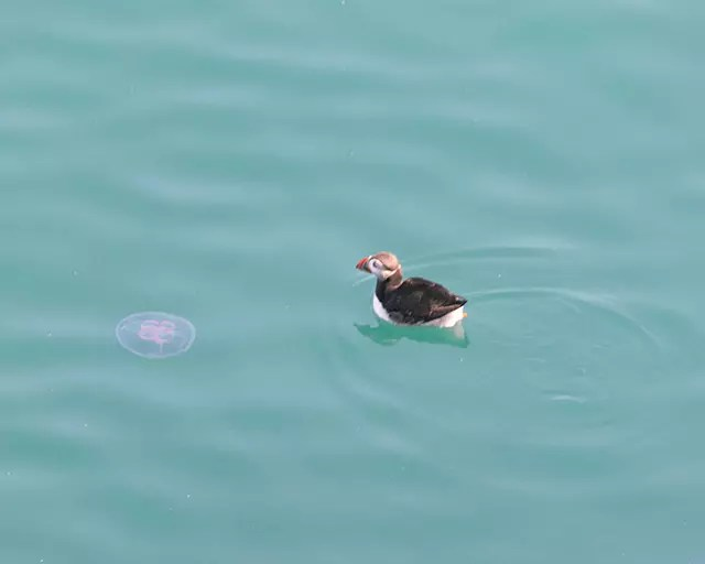 Would Be Traveller Jellyfish and Puffin on Skomer Island
