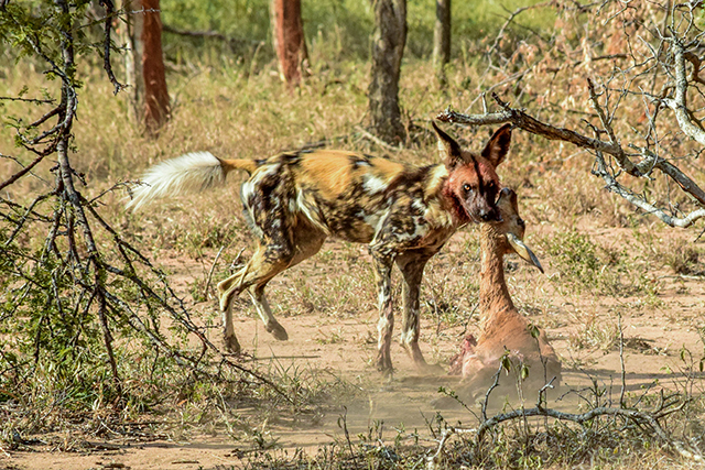 Would Be Traveller Wildlife Encounters in South Africa Wild dogs on the hunt