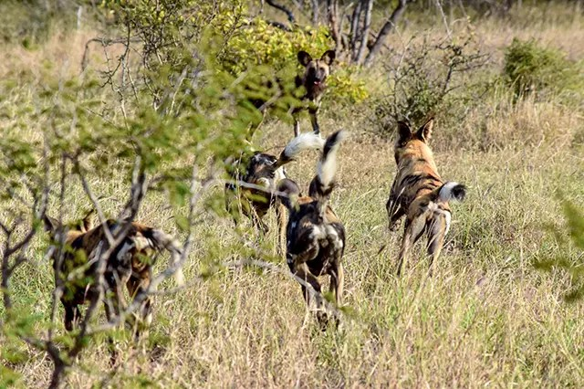 Would Be Traveller Wildlife Encounters in South Africa Wild dogs rejoin the pack