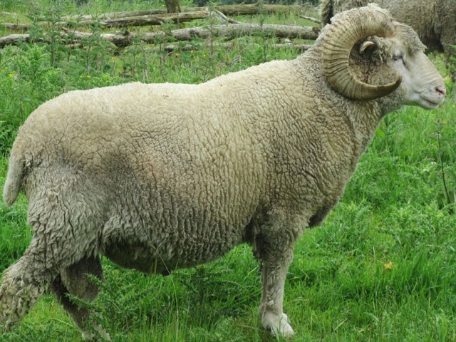 5-yr-old-ram-3-mths-fleece_