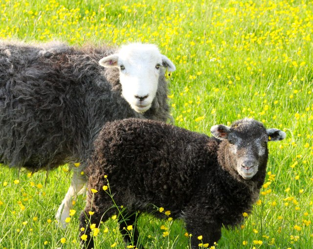 Pam Hall's Herdwicks