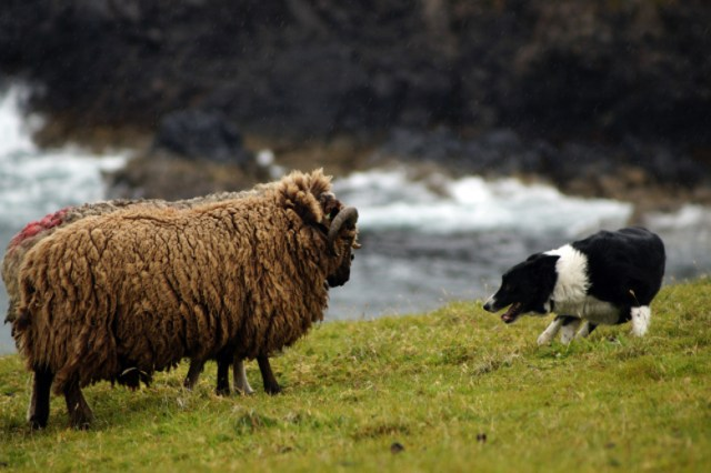 17_sheepdog_sheep_standoff