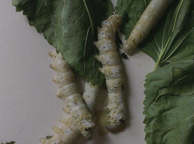 poorly silkworms
