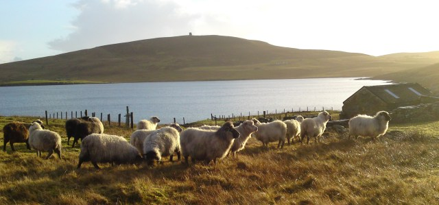 Chris's flock with Ander Hill in the background