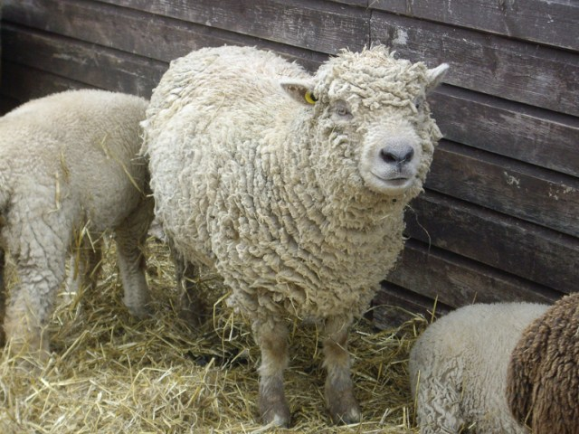 Southdown sheep photographed at the Seven Sisters Sheep Centre, Sussex, 2009