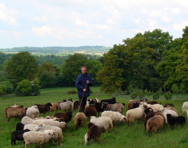 A French shepherd with his flock of Ouessant sheep. Photo: © D. Morzynski