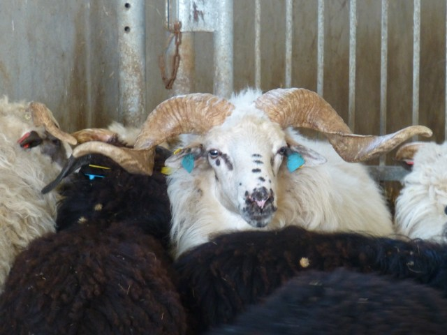 Native Wallachian sheep of Slovakia, photo found here