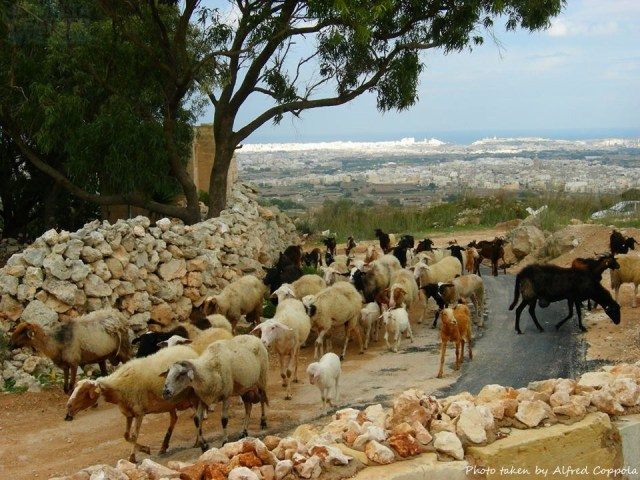 Sheep in Malta - photo of sheep in Fawwara in Malta, taken by Alfred Coppola and found on the Malta Weather Site