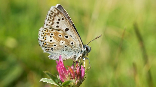 Chalkhill Blue butterfly photographed in Dorset, UK, 21 July 2013 by Ian Kirk and shared on Wikimedia Commons using Creative Commons Attribution 2.0 Generic license