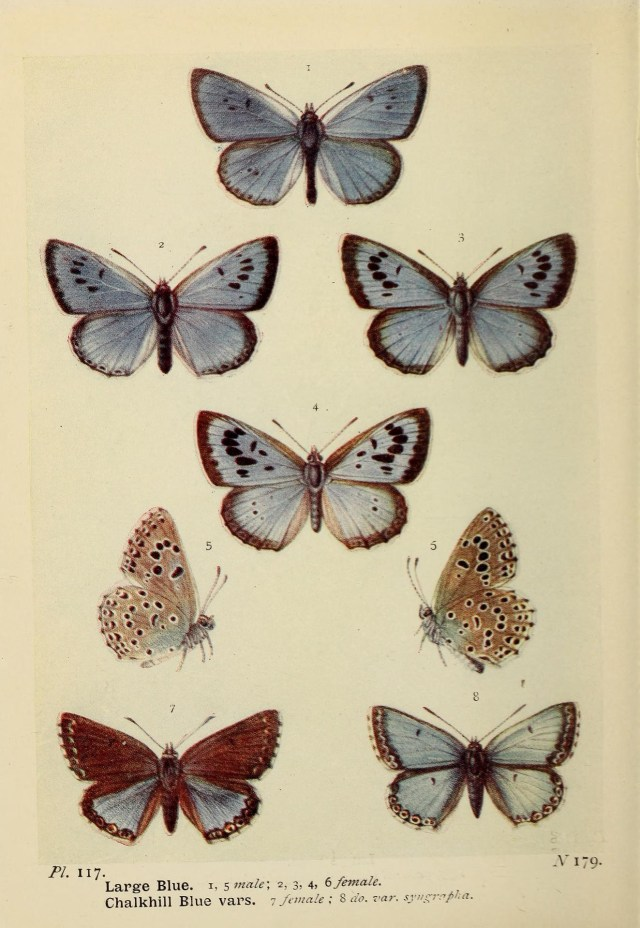 Chalkhill Blue Butterfly illustrations from 'The butterflies of the British Isles', published 1906 and photographed and shared on Wikimedia Commons using Creative Commons Attribution 2.0 Generic license here