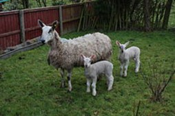 Blue-faced Leicester ewe and lambs