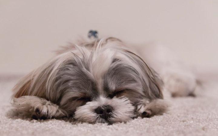 Sleeping dog on a fluffy white carpet