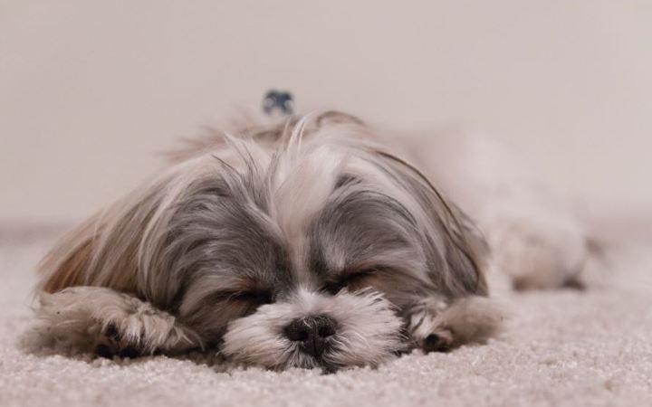 Sleeping dog on a fluffy white carpet