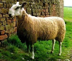 Sheep Breeds and Their Characteristics | Florilegium