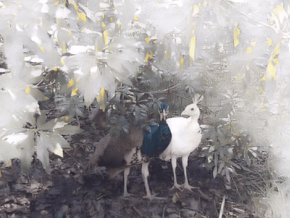 peacock realistic painting effect
