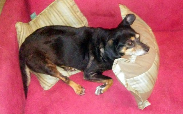 dog sleeping on couch pillows