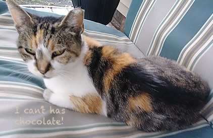 Cat with I can't has chocolate caption