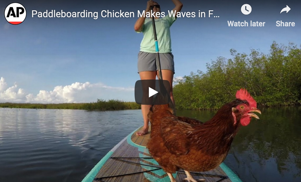 screenshot of paddle boarding chicken video