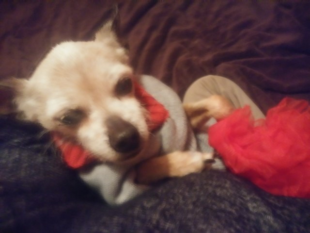 Chihuahua in ugly Christmas sweatr