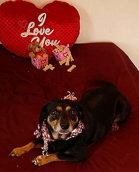 Terrier mix with I love you pillow