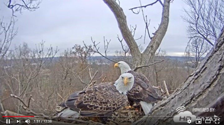 A screenshot from Youtube of the bald eagles known as Liberty and Freedom