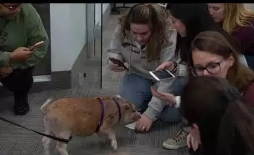 pet pig in office