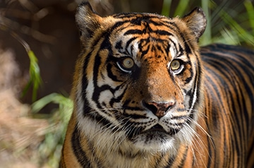 sumatran tiger public domain photo