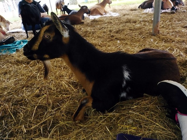 cute gold and black goat