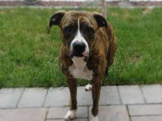 dog with brindle pattern