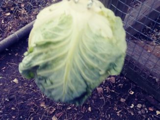 Cabbage hanging in chicken coop