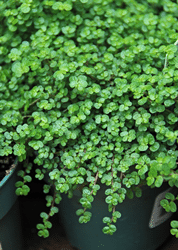 Baby tears plant (Soleirolia) is safe for pets and should be grown in brighter light conditions.