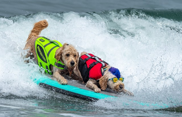 two dogs on a surfboard in the ocean