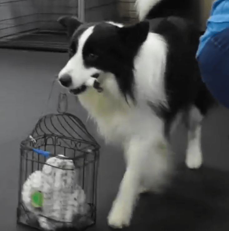 Border Collie carrying bird cage