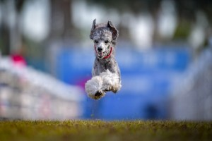 Elliot the Poodle, leaping