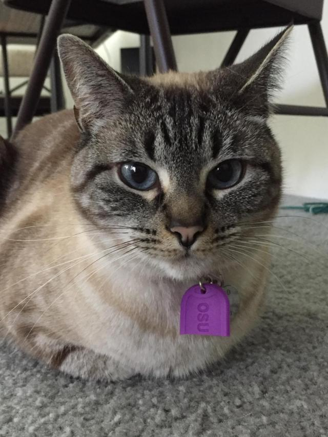 cat wearing silicone tag
