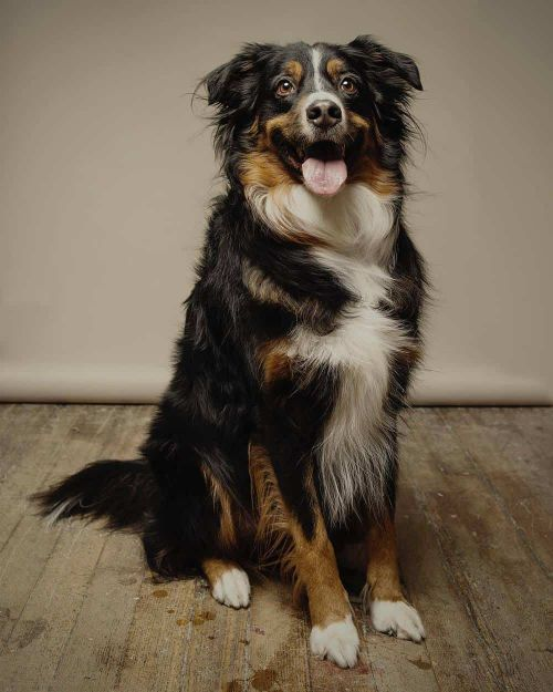 Bernese Mountain Dog Australian Shepherd Mix For Sale : bernese, mountain, australian, shepherd, Charming, Mountain, Mixes, Perfect