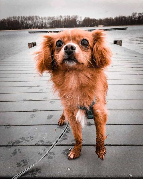 King Charles Spaniel Chihuahua Mix : charles, spaniel, chihuahua, Super, Spaniel, Mixes, Perfect, Breeds