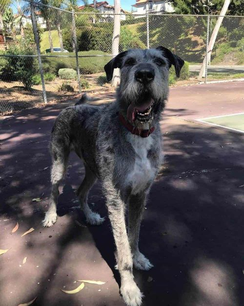 Great Dane Wolfhound Mix : great, wolfhound, Irish, Wolfhound, Breed, WowPooch