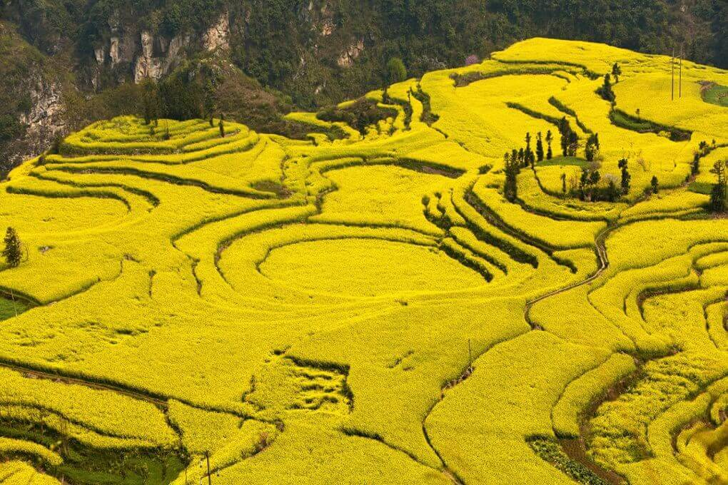 21 Mustard fields in Yunnan province, China