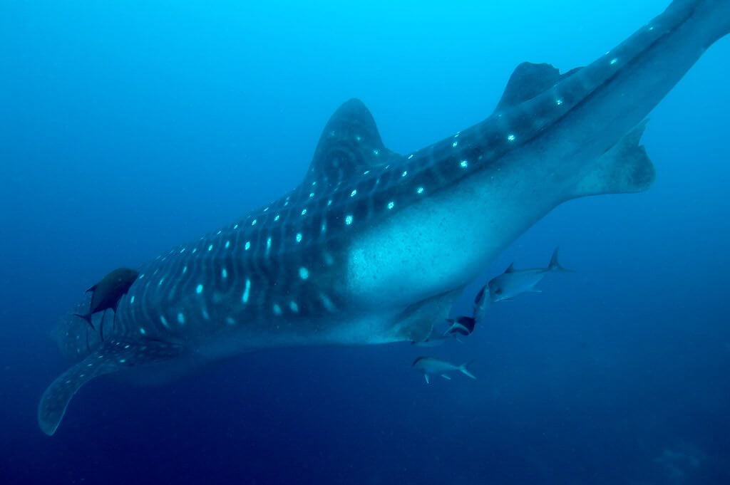 Whale Sharks, Galapagos - by Peter Liu - Peter Liu Photography/Flickr