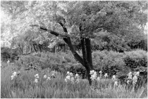 Apple Tree and Irises by Myron Wood, May 1980. Copyright PPLD. Image 002-9202.