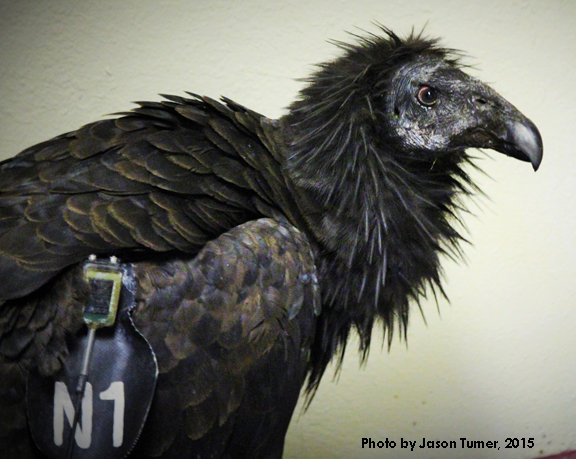 A California condor was treated at the Pueblo Nature and Raptor Center