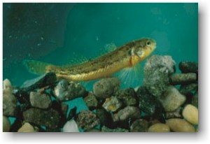 The darter is about two inches long and lives in spring-fed streams.
