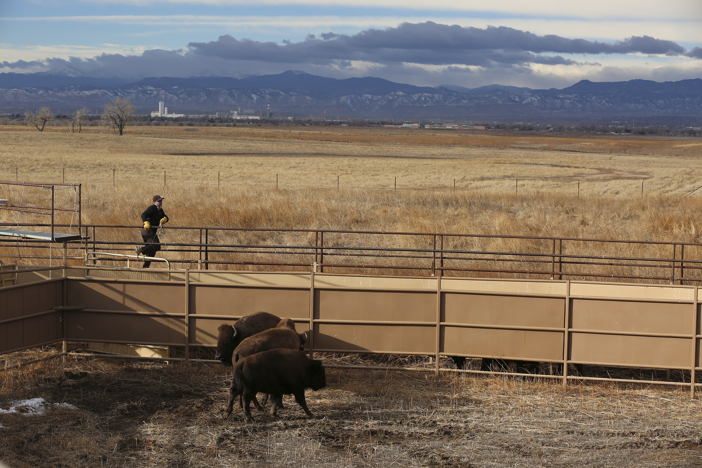 <p>Bison enter a pen at the Rocky Mountain Arsenal. Next, the animals are herded through a series of chutes. </p>