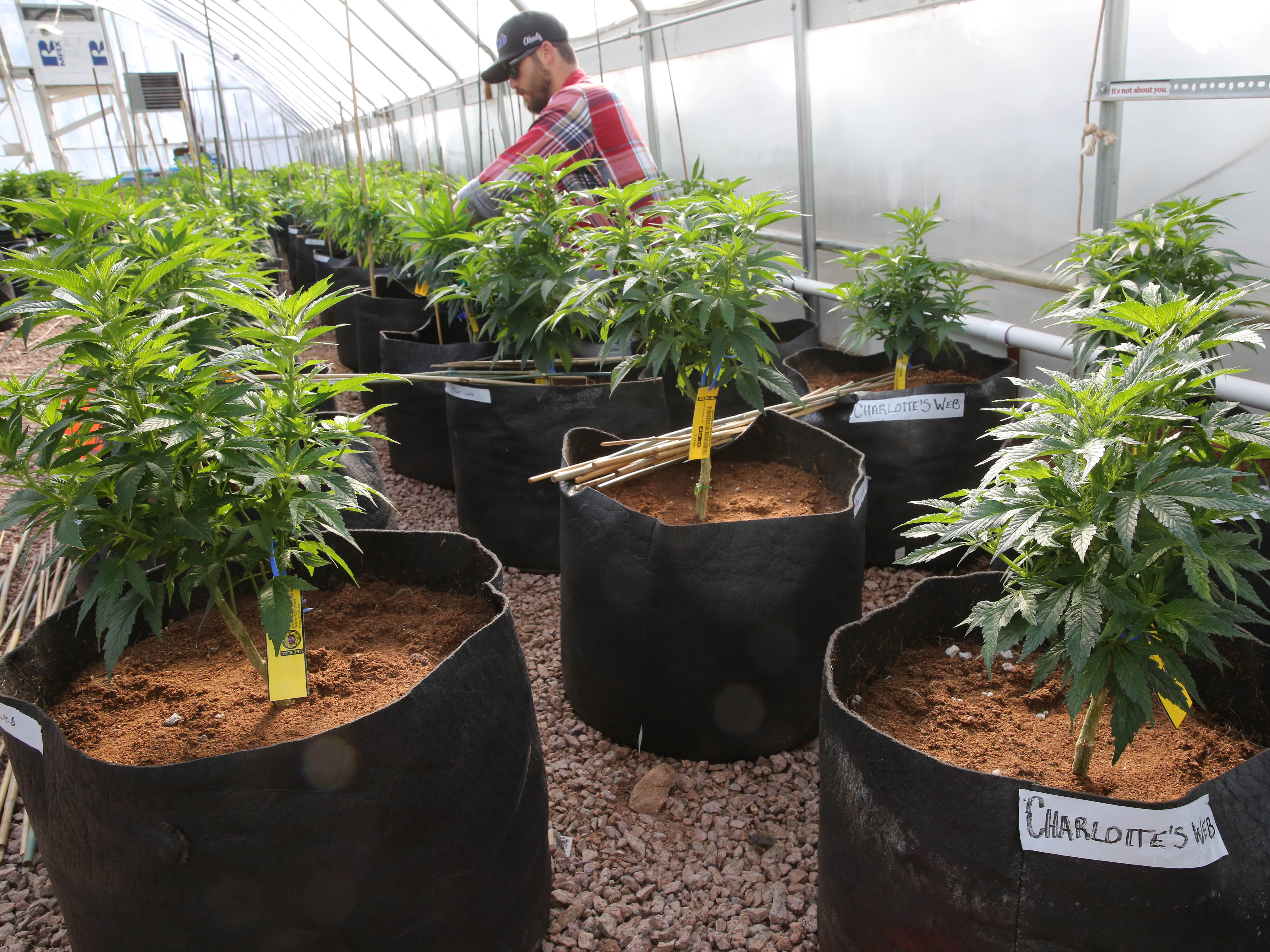 <p>In this Feb. 7, 2014 file photo, a worker cultivates a special strain of medical marijuana known as Charlotte's Web inside a greenhouse, in a remote spot in the mountains west of Colorado Springs, Colorado.</p>