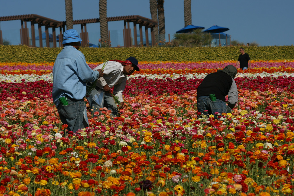 <p>Immigrant workers pick flowers.</p>